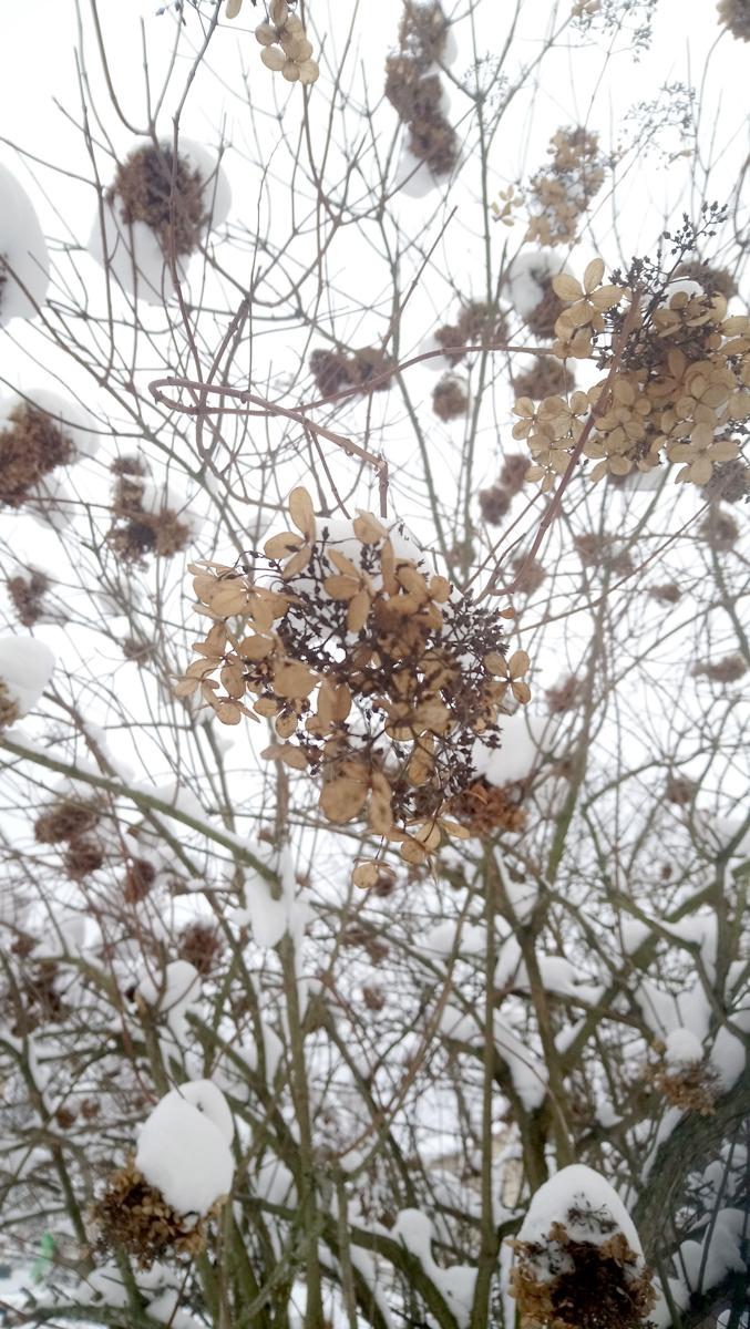 Hortensiapensas on kestänyt paikallaan jo kymmeniä vuosia